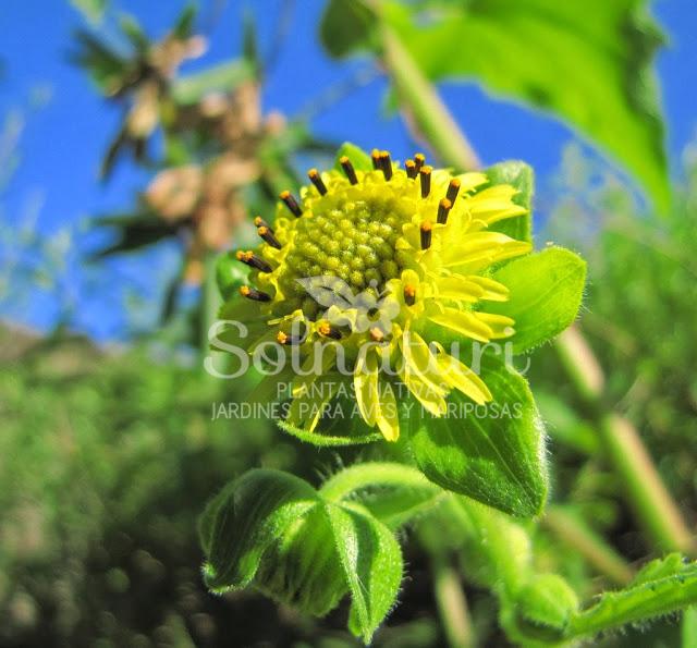 Smallanthus connatus  Girasolcito