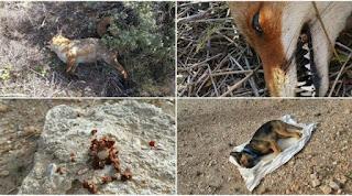 Υμηττός: Ποδηλάτης έριξε φόλες σε αλεπούδες και σκυλιά γιατί τον δάγκωσαν