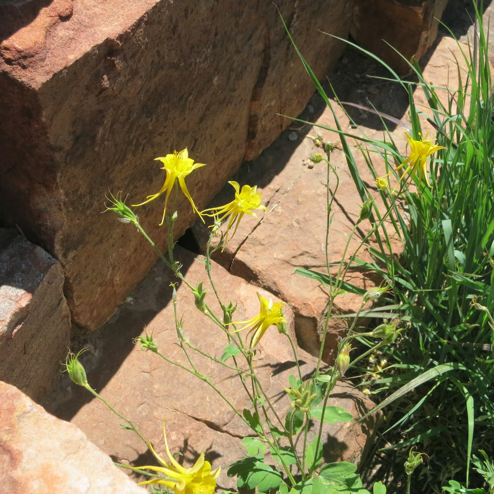 A Wandering Botanist: Plant Story -- Colorful Columbines ...