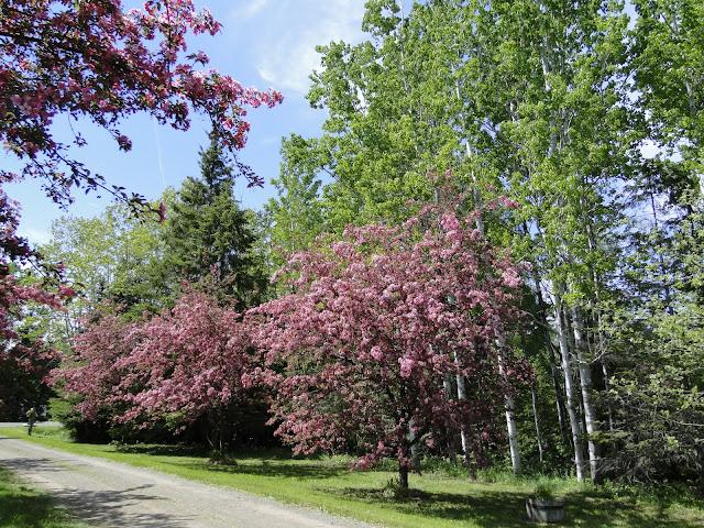 flowering crabapple trees on driveway