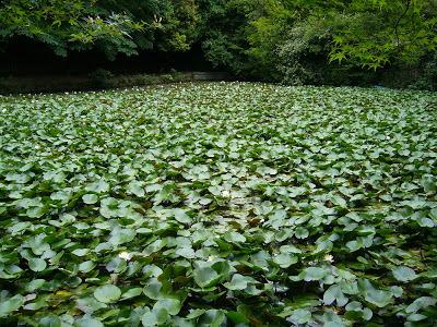 大阪府枚方市・山田池公園 スイレン池