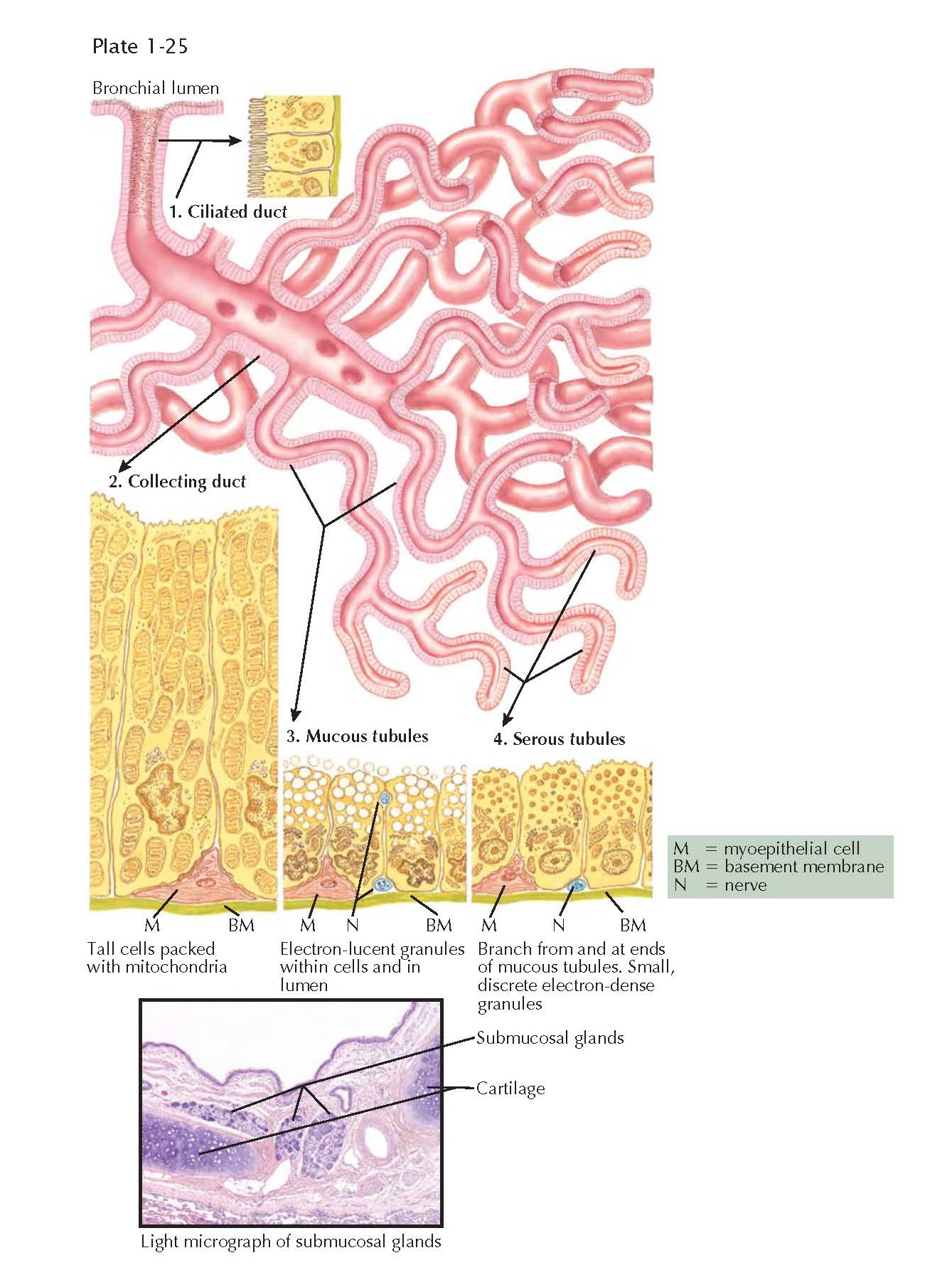 BRONCHIAL SUBMUCOSAL GLANDS