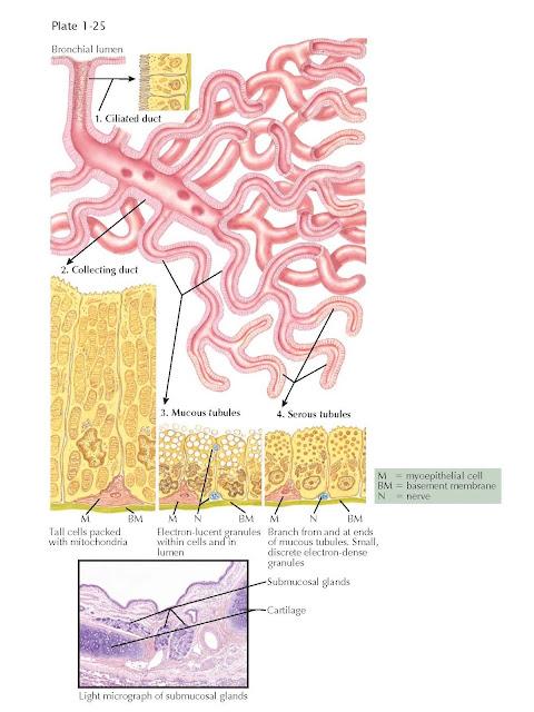 BRONCHIAL SUBMUCOSAL GLANDS