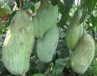gambar pohon mangga 2 rasa
