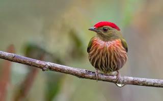 Juan-Jose-Arango-Escobar-fotografías-de-aves