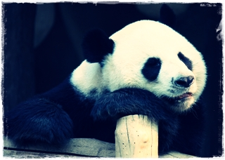 Ciri Ciri Binatang Panda