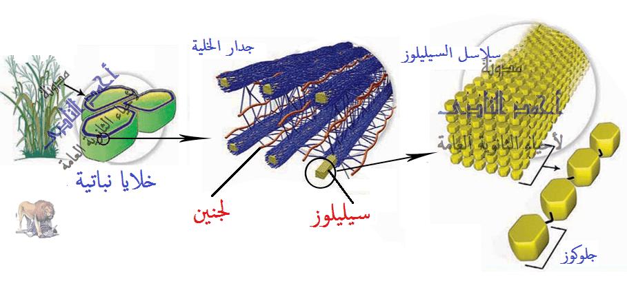 الهضم فى الإنسان -  الجهاز الهضمى- السيليلوز -  مدونة أحمد النادى لأحياء الثانوية العامة