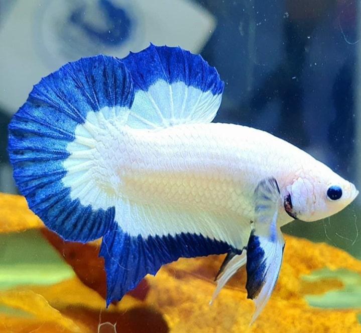 Blue Rim Jenis Jenis Ikan Cupang Plakat