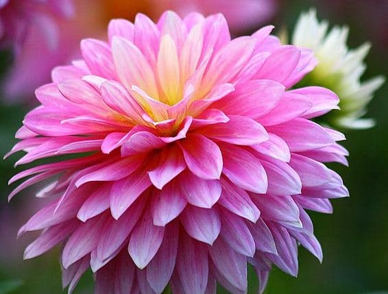 Contoh Deskripsi Singkat Bunga Dahlia Dalam Bahasa Inggris Dan Artinya Bahasa Inggris Xyz