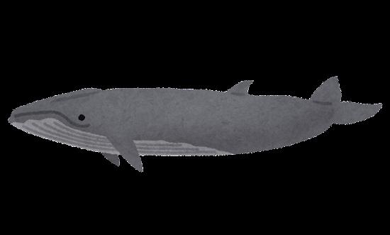 ニタリクジラのイラスト(鯨)