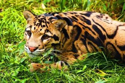 Clouded leopard of Assam's nameri national park