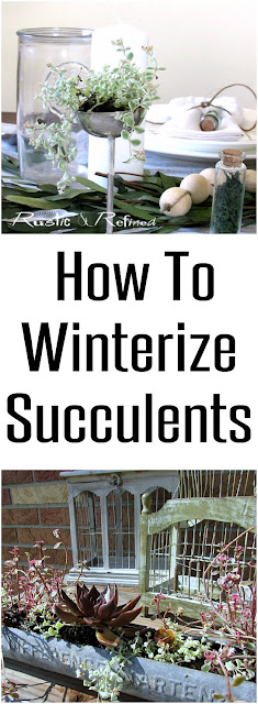 How to winterize and care for succulents for Winter