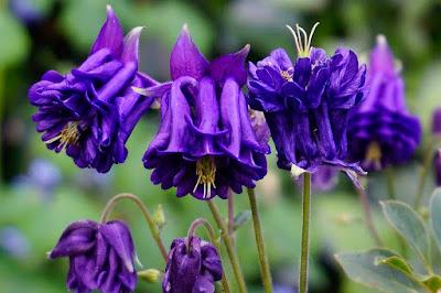 plants, flowers. aquilegia,