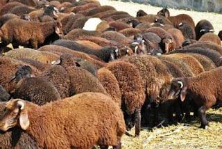 morkaraman-koyunu-ozellikleri-resimleri