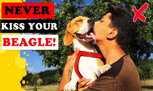 Why you should never kiss your beagle!