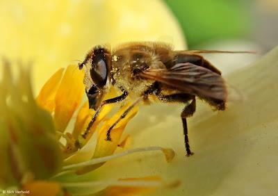 Nahaufnahme einer Biene beim Nektar sammeln, Bienen Makrofotografie