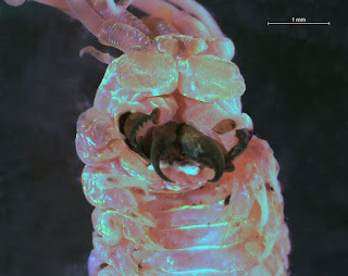 Close-up of the Ornate Tube Worm's jaws under a microscope.