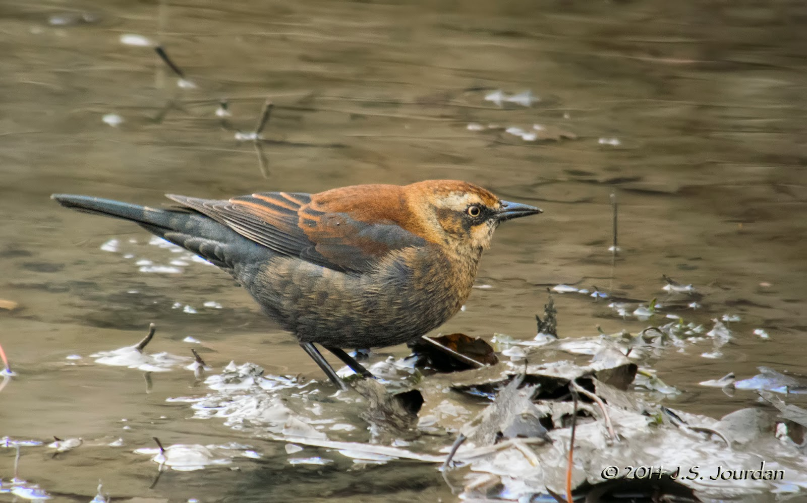 Rusty blackbird flock