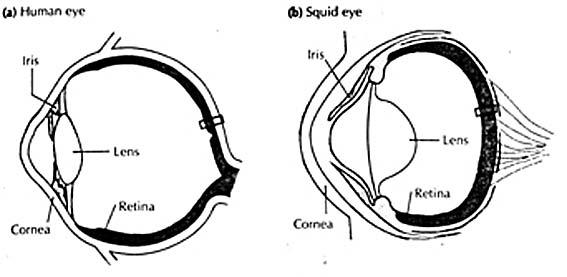 squid eye diagram squidinterior