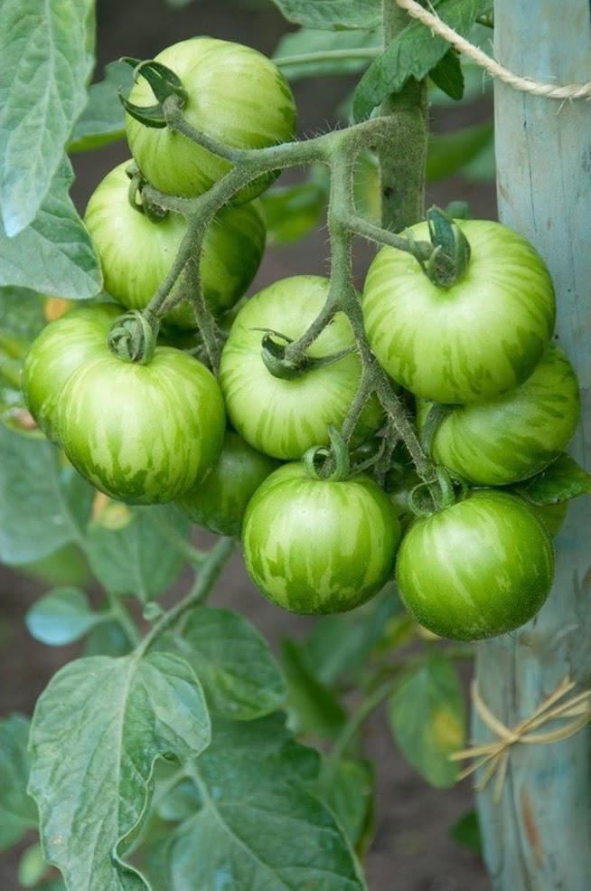 Amefurashi Bibit Benih Seeds Tomato Green Zebra Sayur Tomat Hijau Unik Mudah TUmbuh Aceh