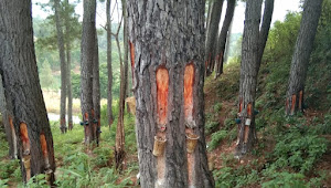 Penyadapan Getah Pinus Tanpa Aturan Marak di Samosir