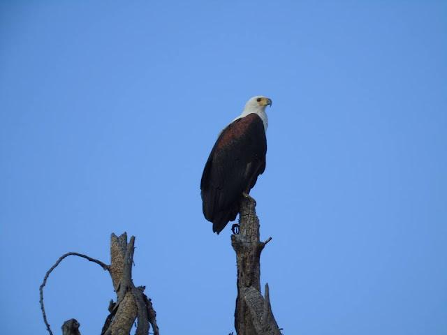 fish eagle lake navaisha lake safari kenya africa