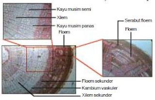 Struktur Anatomi Organ Batang Pada Tumbuhan Dikotil dan Monokotil