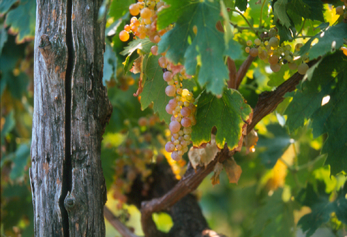 garganega grapes of Soave with Inama