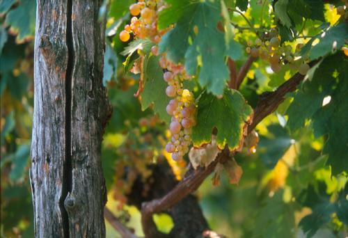 garganega grapes of Soave with Inama