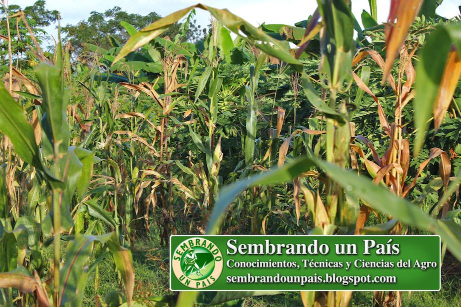 plantas de maíz zea mays