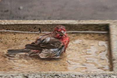 """This image features a male House finch in a cement bird bath that is on my garden floor. He is sitting in the water with his legs tucked under his body. Most of his body is visible and not immersed in water. He appears to be looking straight into the camera! His wings are pressed against either side of his body. House finches are featured in volume one of my book series, """"Words In Our Beak.""""  Info re these books is in another post on my blog @ https://www.thelastleafgardener.com/2018/10/one-sheet-book-series-info.html"""