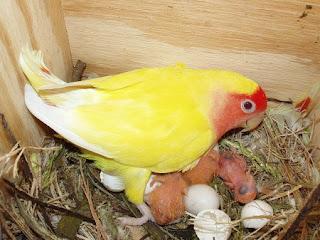 telur lovebird tidak menetas, telur lovebird, lovebird bertelur