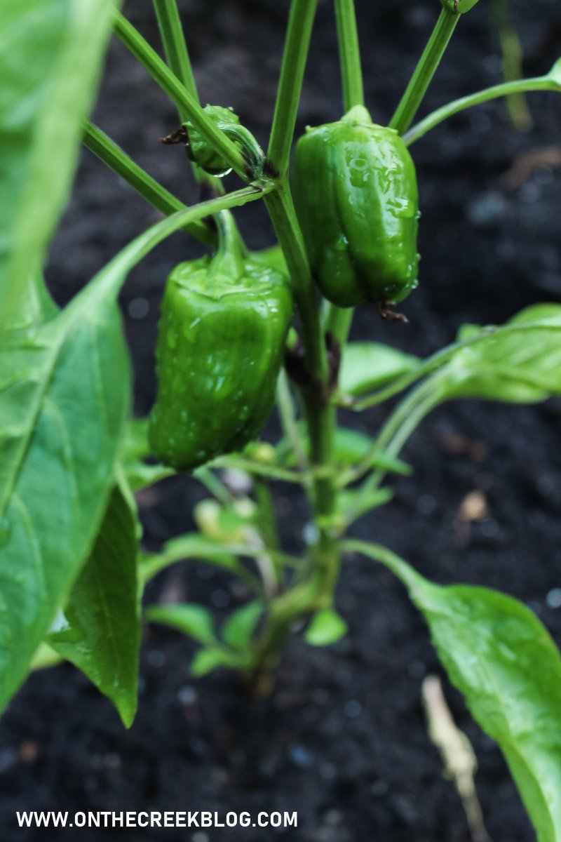 Tiny peppers growing in my garden! | On The Creek Blog