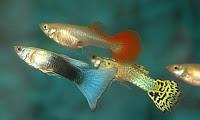 Membedakan ikan guppy terbaru
