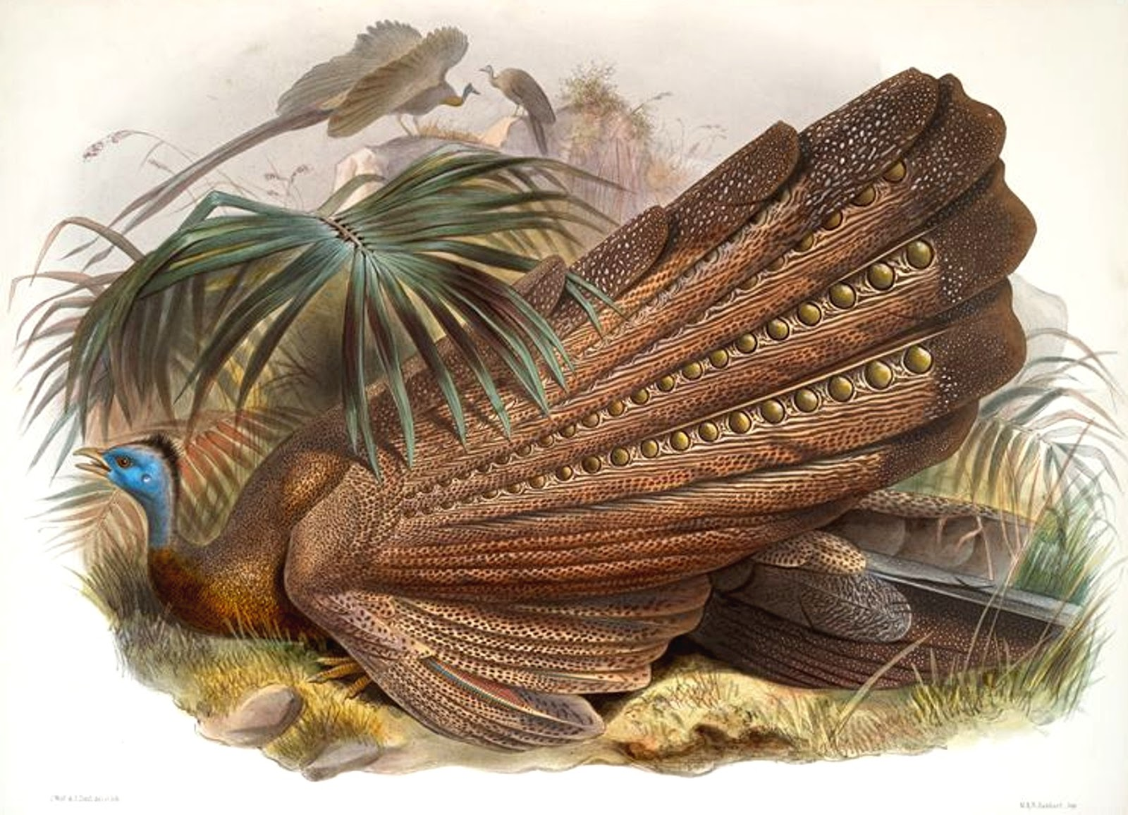 Argus Pheasant Tail Feathers Beautiful