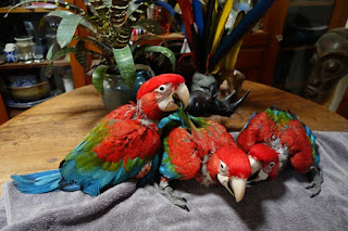 Baby Green wing macaws