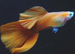 Jenis ikan guppy mozaic