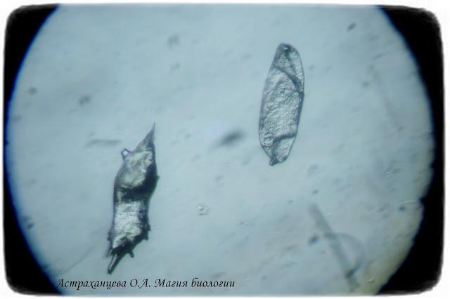 dzhida-loh-uzkolistnyj-plody-pod-mikroskopom-magija-biologii