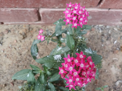Pink colored Egyptian star cluster plant