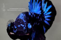 5 Alasan Ikan Cupang Termahal Saat Ini Diantaranya Ikan Cupang Jenis AVATAR