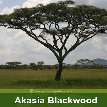 ciri ciri pohon akasia blackwood