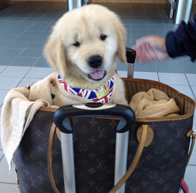 Golden Retriever puppy Louis Vuitton Neverfull