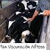 El 22 de Diciembre finaliza la Campaña de Vacunacíon Antiaftosa