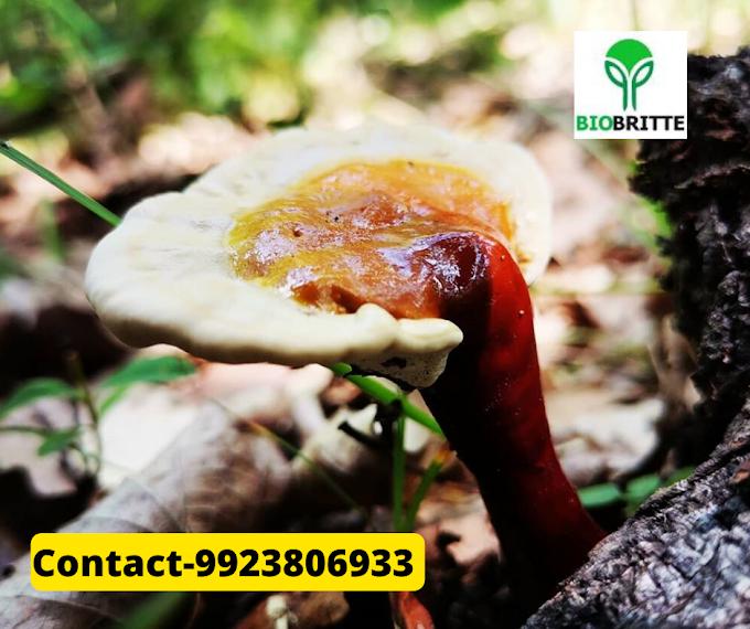 Ganoderma Mushroom Company in India | Biobritte mushroom company