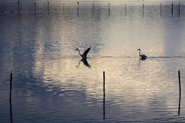 Fenicotteri al Parco naturale Molentargius-Saline-Cagliari-Cormorani