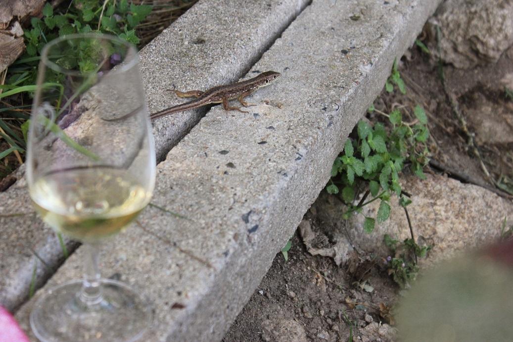 Ještěrka a sklenice vína na vinici Šobes v Národním parku Podyjí