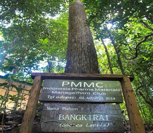 Pohon bengkirai dari Kalimantan