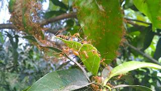 Teranak semut rangrang dan kroto secara alami