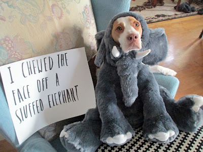 I chewed the face off a stuffed elephant