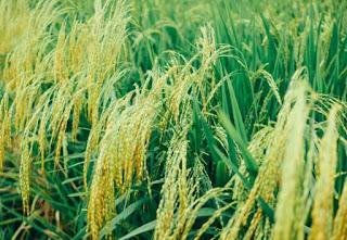manfaat kutu beras cara menghilangkan kutu beras di kamar cara menghilangkan ulat beras apakah kutu beras bisa pindah ke rambut cara menyimpan beras agar tahan bertahun tahun cara menyimpan padi supaya tahan lama umur simpan beras cara menyimpan beras agar tidak ada semut